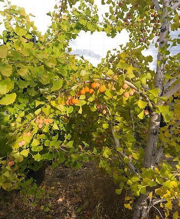 trees-ginkgo-fruit.jpg