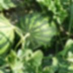 inside-farm-melons in field.jpg