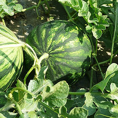 inside-farm-melons in field.jpg