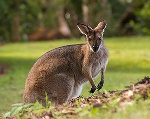 5-world-australia-wallaby.jpg