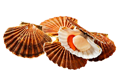 COQUILLE.png