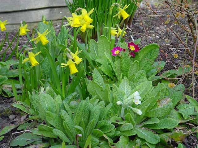 Picasa - spring daffodils and primulas.jpg
