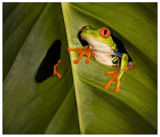 Rana Arborícola de Ojos Rojos / Red-Eyed Leaf Frog