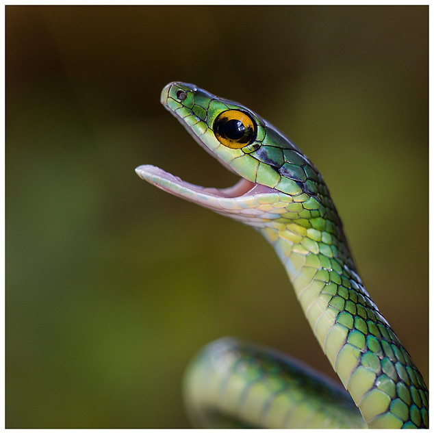 Culebra Lora Cabecicorta / Eastern Parrot Snake