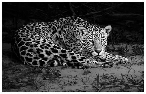 Yaguareté / Jaguar