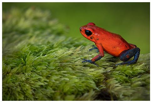 Rana Venenosa Roja / Strawberry Poison Frog