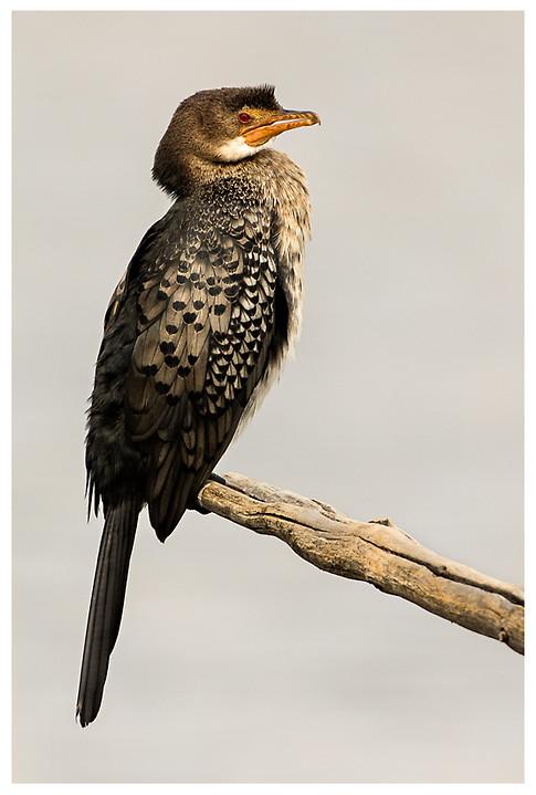 Cormorán Africano / Reed Cormorant