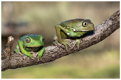 Rana Mono Encerada / Waxy Monkey Tree Frog