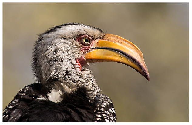 Toco Piquigualdo Sureño / Southern Yellow-Billed Hornbill