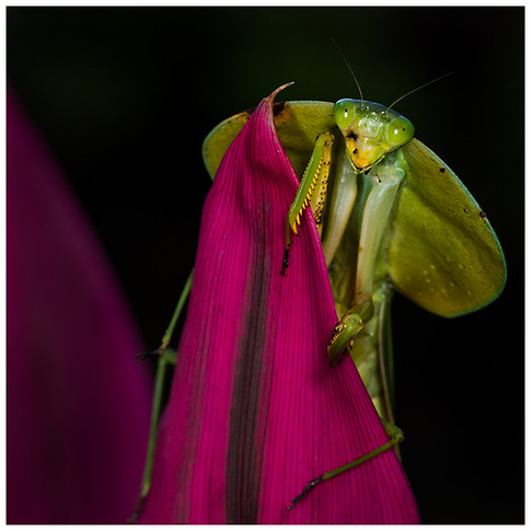 Mantis Cabeza de Hoja / Leaf-Mimicking Mantis