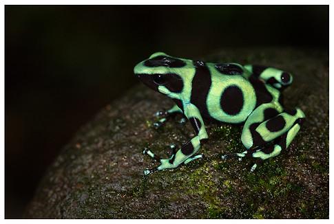 Rana Venenosa Verdinegra / Green & Black Poison Frog