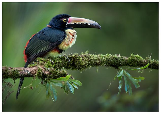 Arasarí de Collar / Collared Aracari