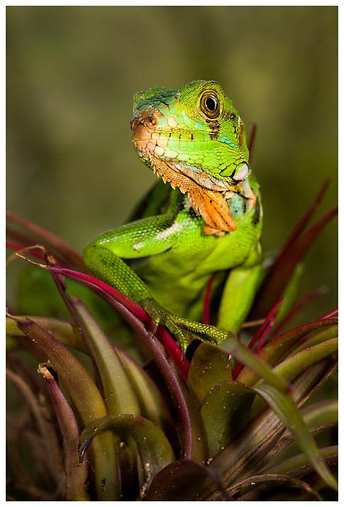 Joven Iguana / Young Iguana