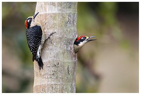 Carpinteros Cara Negra / Black-Cheeked Woodpeckers