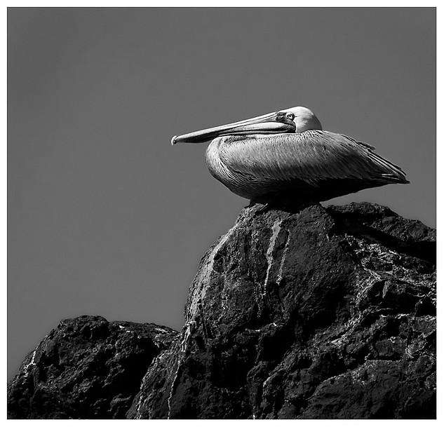 Pelícano Pardo / Brown Pelican