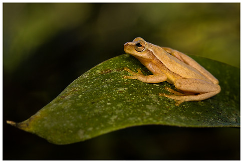 Rana Arborícola Amarilla / Yellow Treefrog