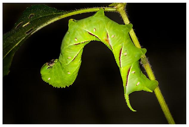 Oruga de Polilla de la Familia Sphingidae / Caterpillar of a Moth of the Sphingidae Family