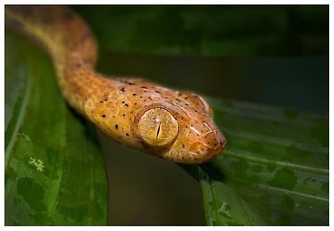 Bejuquilla Lisa o Culebra Cabezona / Plain Blunt-Headed Snake