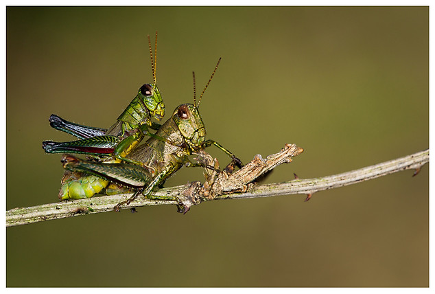 Haciendo Langostitas Bebé / Making Baby Locusts