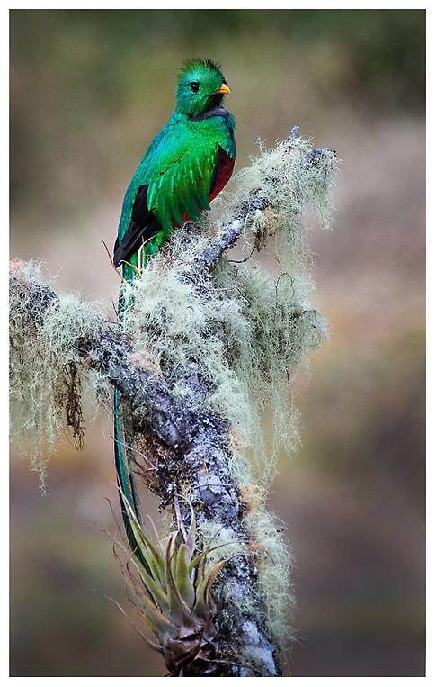 Quetzal / Resplendent Quetzal