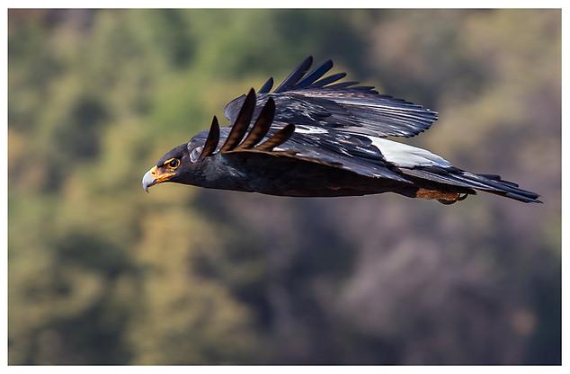 Águila de Verreaux / Verreaux's Eagle