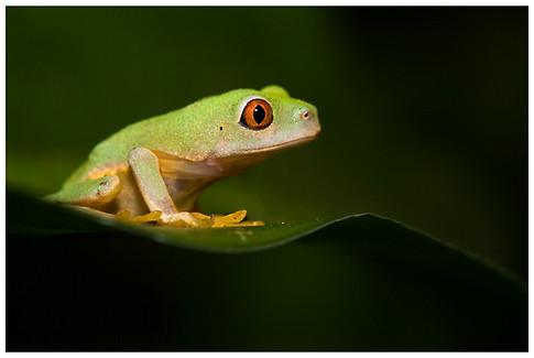 Joven Rana Arborícola de Ojos Rojos / Young Red-Eyed Leaf Frog
