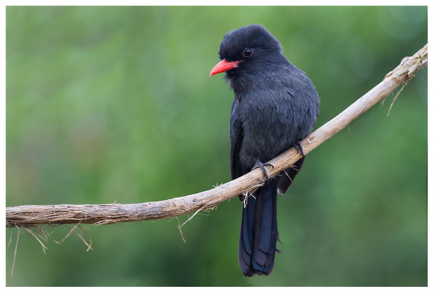 Tangurú Negro o Monja Frentinegra / Black-Fronted Nunbird