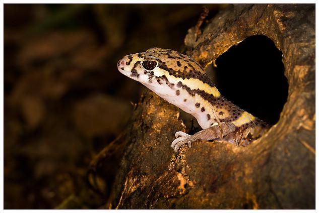 Geckoo Bandeado Centroamericano / Tropical Banded Gecko