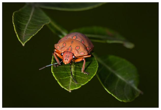Pachycoris torridus