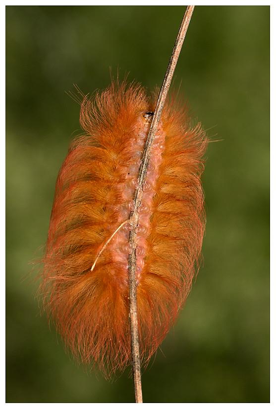Oruga de Polilla Megalopyge albicollis / Caterpillar of the Megalopyge albicollis Moth