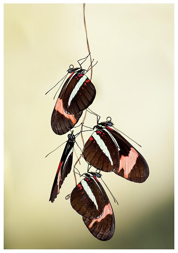 Heliconius erato phyllis