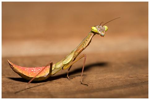 Joven Mantis / Young Mantis