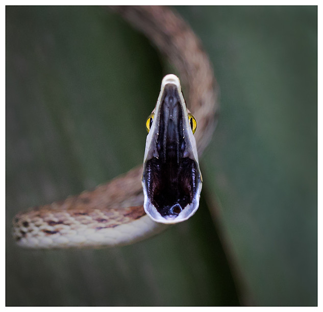 Bejuquilla Café / Brown Vine Snake