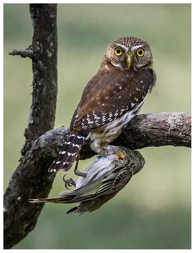 Caburé Chico / Ferruginous Pygmy-Owl