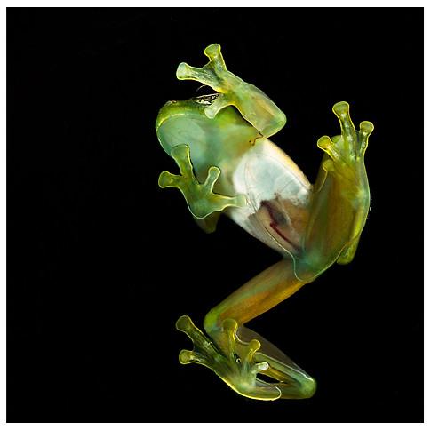 Rana de Cristal / Glass Frog