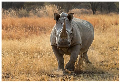 Rinoceronte Blanco / White Rhino