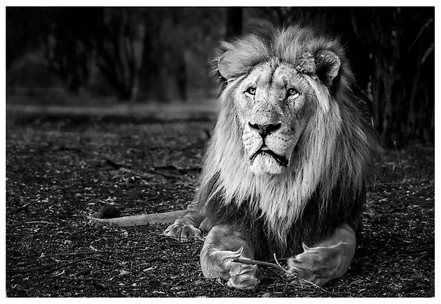Leon Africano / African Lion
