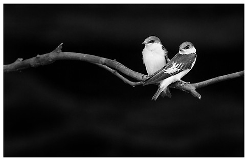 Golondrinas Ala Blanca / White-Winged Swallows