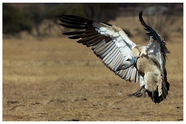 Buitre de El Cabo / Cape Vulture