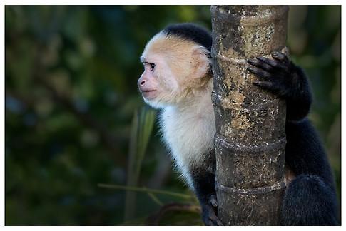 Mono Cara Blanca / White-Headed Capuchin