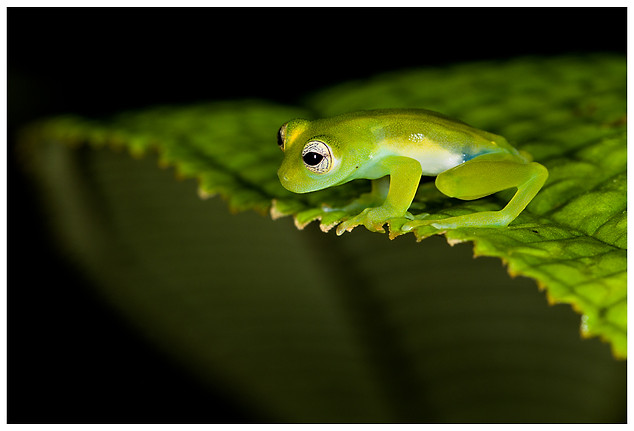 Rana de Vidrio / Glass Frog