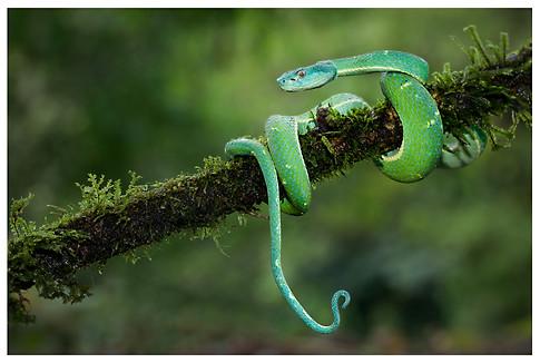 Toboba Lora / Green Palm Pitviper