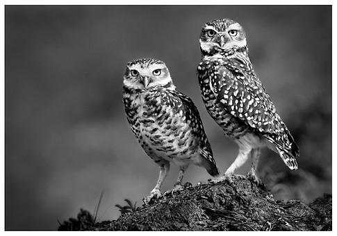 Lechucitas Vizcacheras / Burrowing Owls