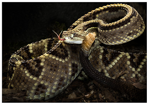 Serpiente de Cascabel Centroamericana / Central American Neotropical Rattlesnake