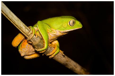 Rana Mono Misionera / Misiones Monkey Frog