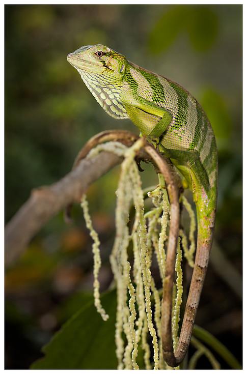 Lagartija de Dosel / Canopy Lizard