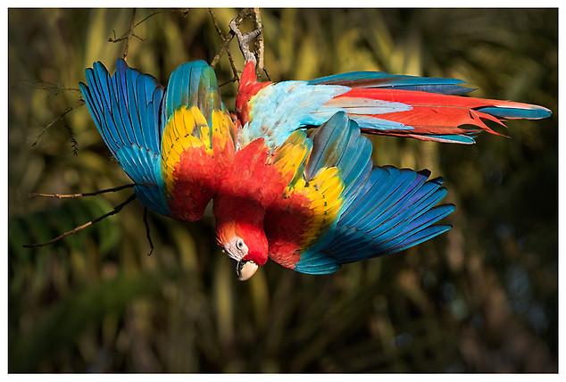 Lapa Roja o Guacamayo Macao / Scarlet Macaw