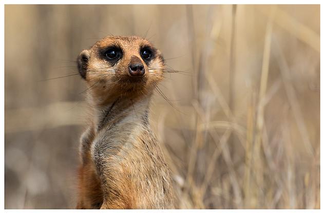 Atento Como Un Suricata / The Watchful Eye of the Meerkat