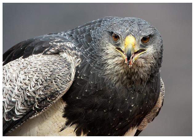 Águila Mora / Black-Chested Buzzard-Eagle