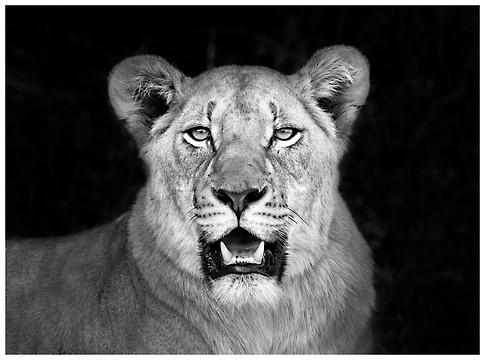 Leona / Lioness